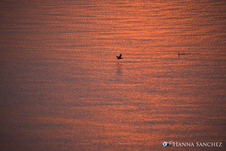 Cormorano al tramonto