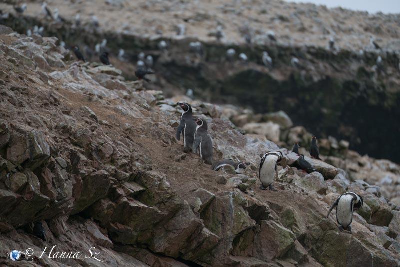 Pinguini di Humboldt